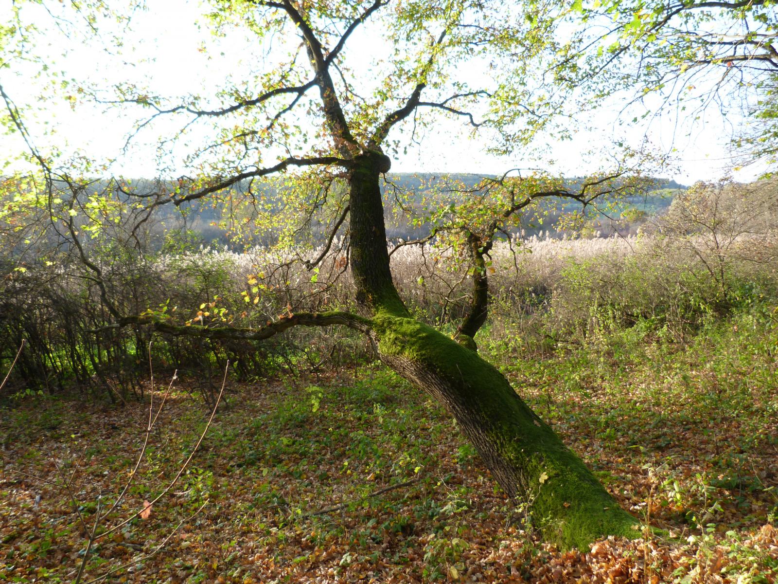 A-pihenőfa